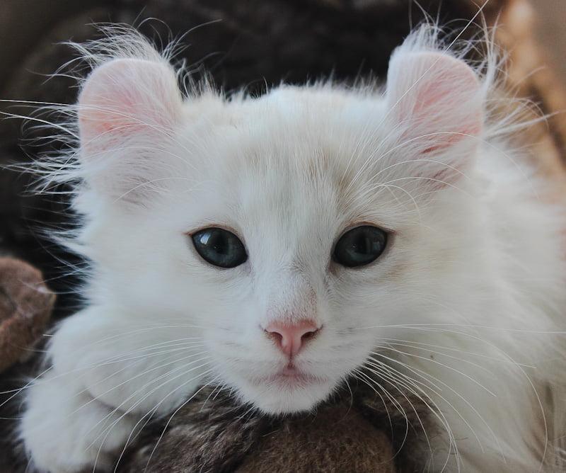 American Curl longhair pet quality