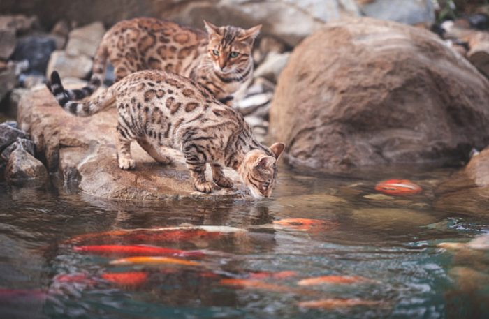 Bengal cat likes playing around in water