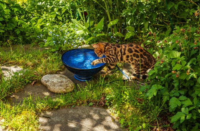 Some Bengal cats like to play around in water
