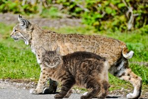 Bobcat compared to the domestic cat