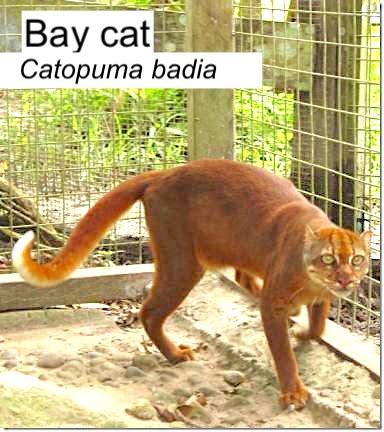 Bornean Bay Cat