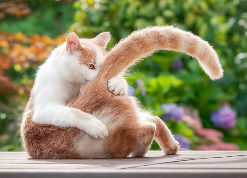 Cat playing with tail