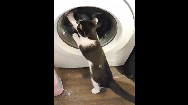 Cat wants to play with the swirling contents of a washing machine or get inside the machine to investigate