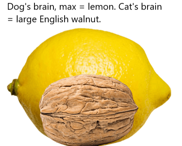 Dog and cat brain size compared