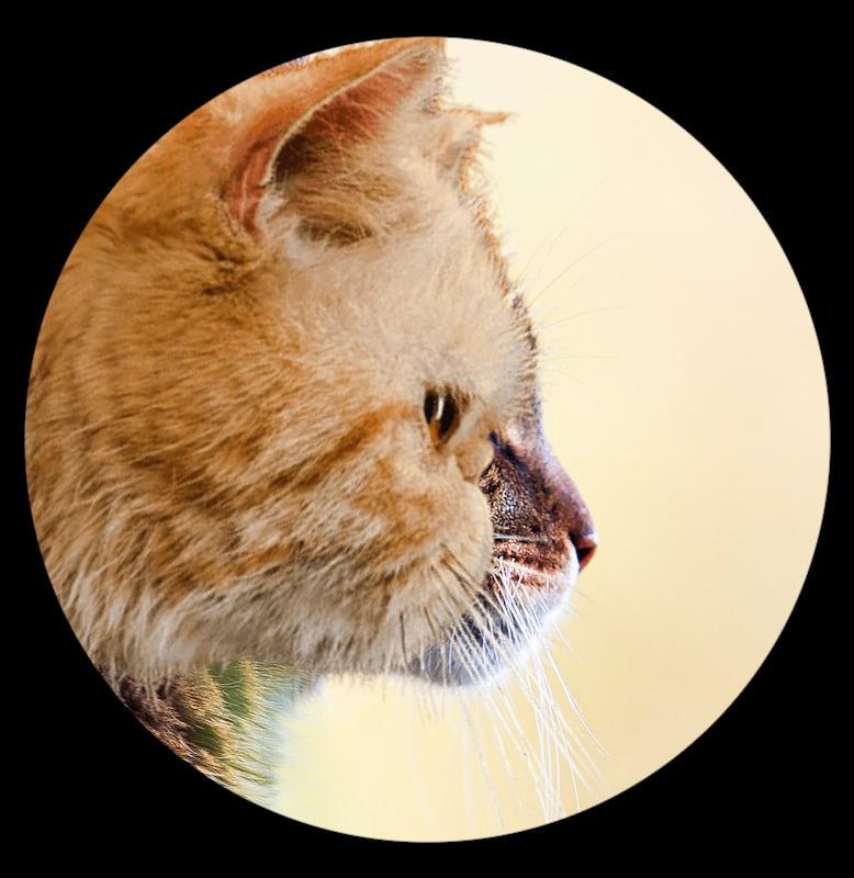 Flat-faced Persian versus standard cat muzzle