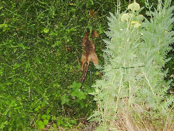 Fox climbing a fence
