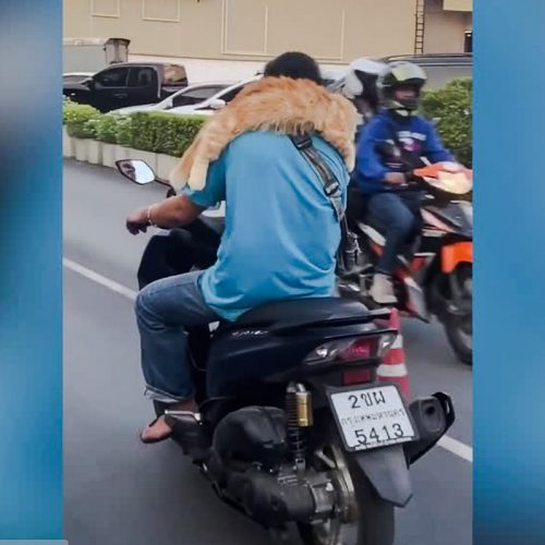 Ginger tabby cat rides on his companion's shoulders while riding motorcycle at 30 mph