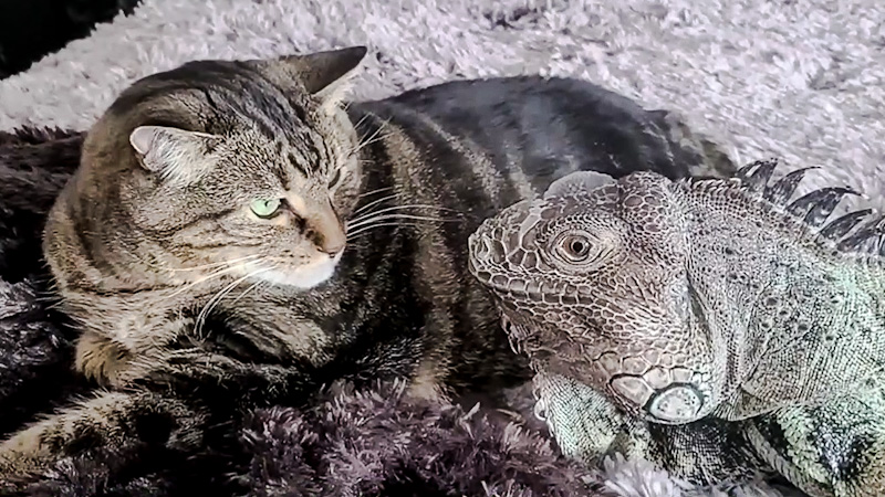 Lizard proposes to cat and wants sex