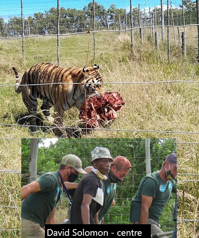 Siberian tiger at South African wildlife park kills keeper and another male Siberian tiger to mate with female Siberian tiger