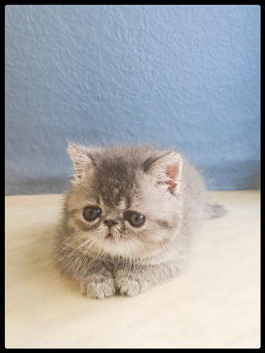 Super cute tiny Exotic Shorthair