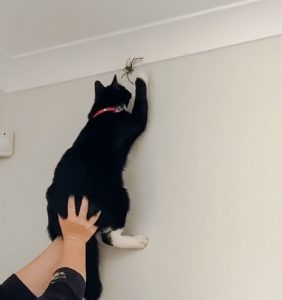 Woman in Australia holds up her cat to kill a Huntsman spider