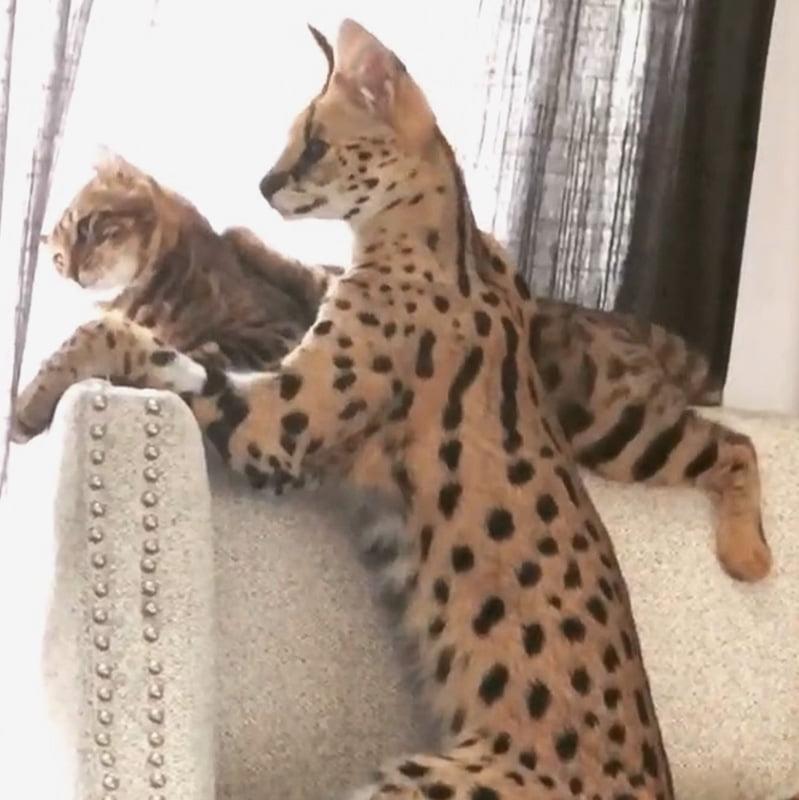 Serval grooms a Savannah cat x American Curl hybrid