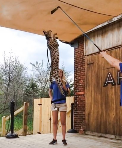African serval jumps about 9 feet from static start