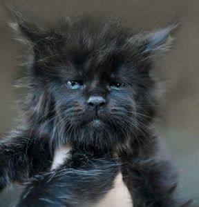 Another majestic Maine Coon kitten