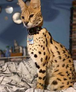 Asha a serval on TikTok