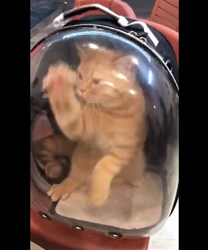 Cat wants to escape backpack cat carrier