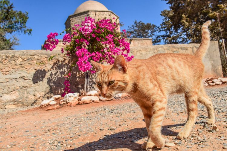 Community cat of Cyprus