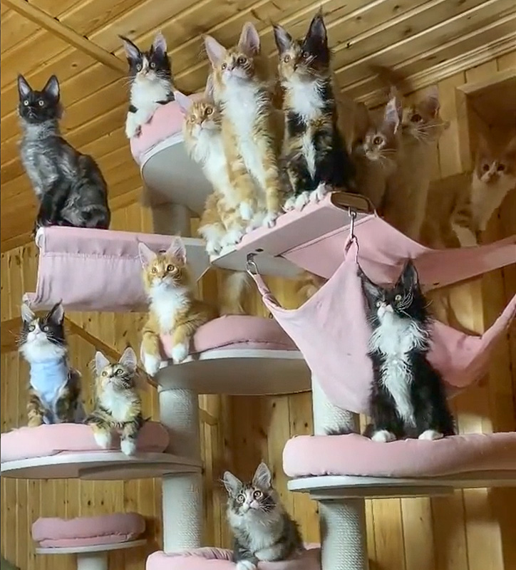Dozens of Maine coon kittens move their heads in sync as they track object