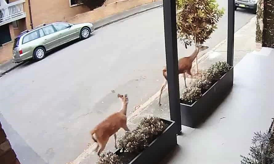 Feral deer in Australia