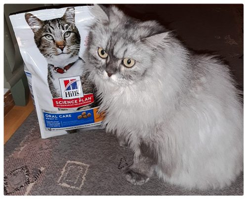 Persian cat likes Hills Oral Care