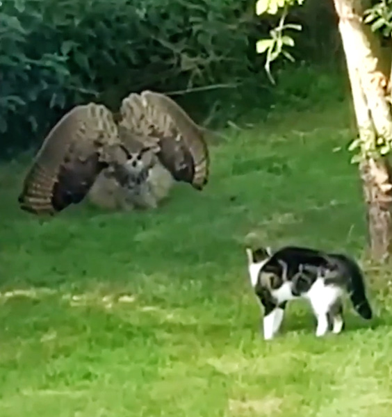 Owl defends itself against the presence of a domestic cat by making itself much larger. The cat response in kind.