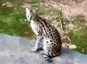 Escaped pet serval wandered into a neighbouring home and ended up on the home owner's bed. She was terrified