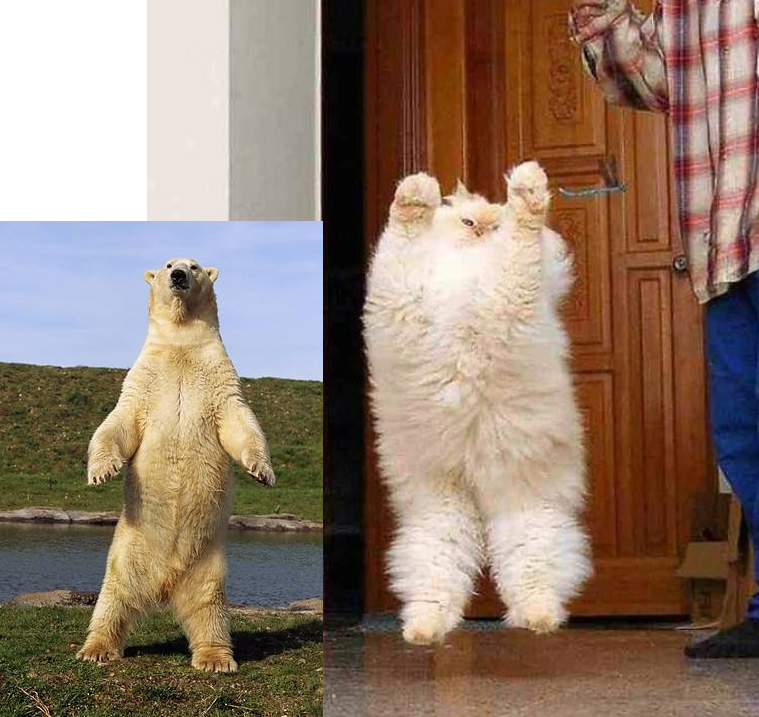 Picture of a jumping Persian looking like a bear