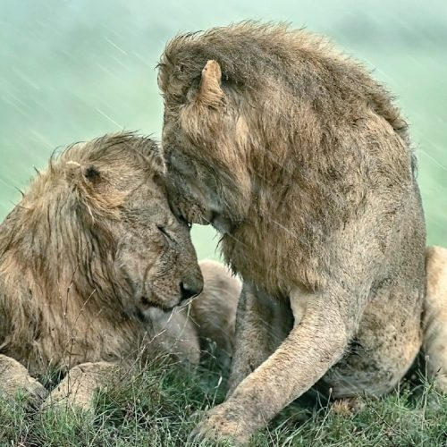 Picture of two male lions in the pouring rain