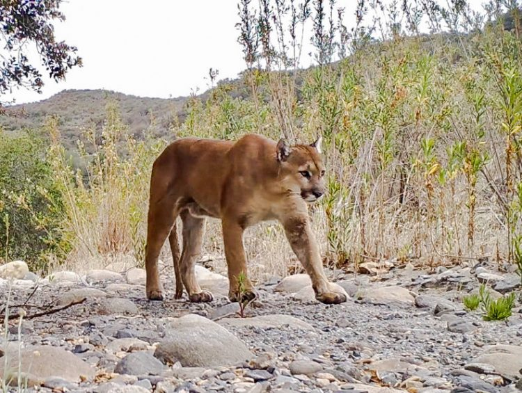 Scar the 5-year-old puma mysteriously shot in Santa Ana Mountains