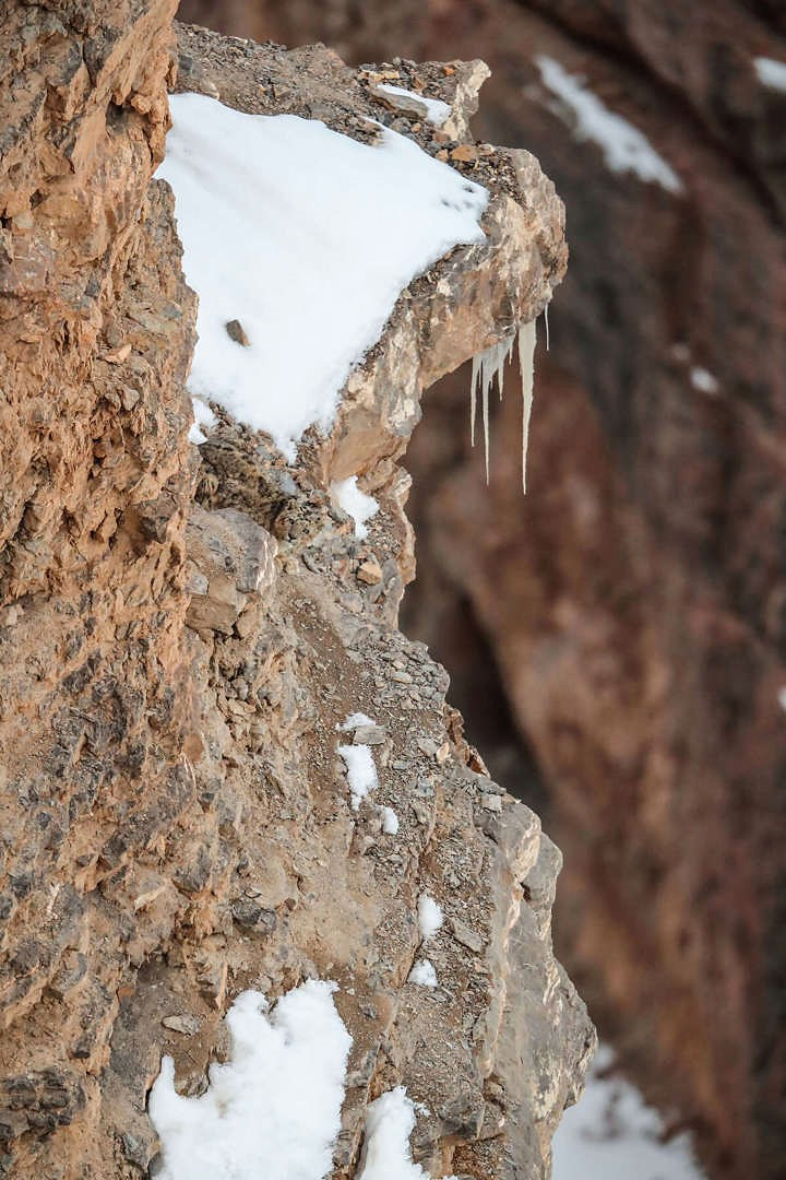 Snow leopard on mountain is hard to see