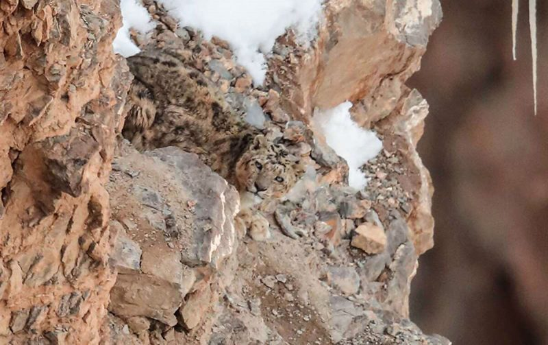 Snow leopard on mountain is hard to see2
