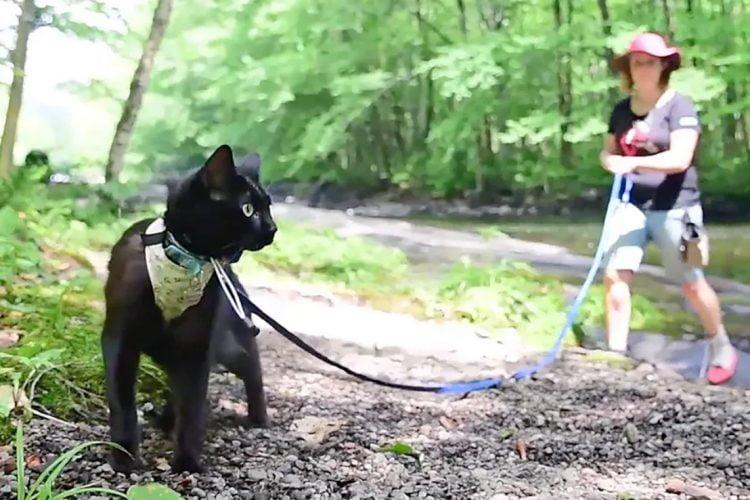 High energy cat Spikie on a leash