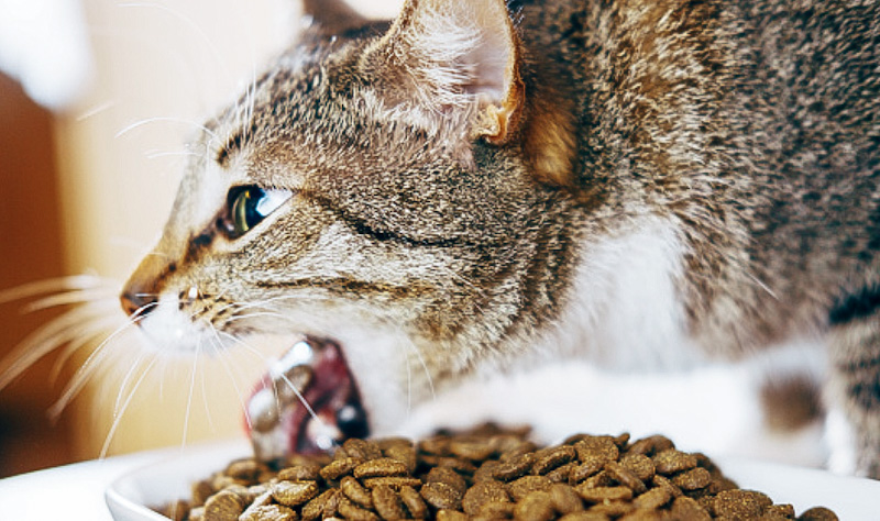 Tabby cat throwing up dry cat food pellets