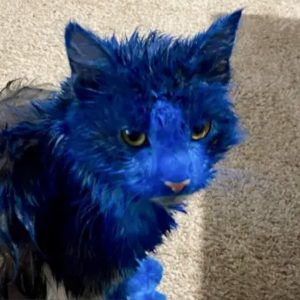 Western Australia domestic cats painted blue by unknown person