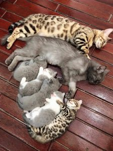 Domestic cat family sleeps. This is a Bengal male with a gray female and their mixed litter