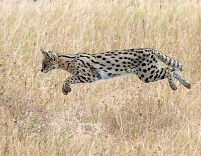 Serval pounce onto a small prey animal it has heard in long grass