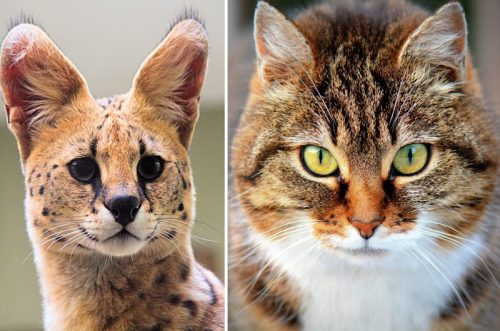 Difference between serval and domestic cat