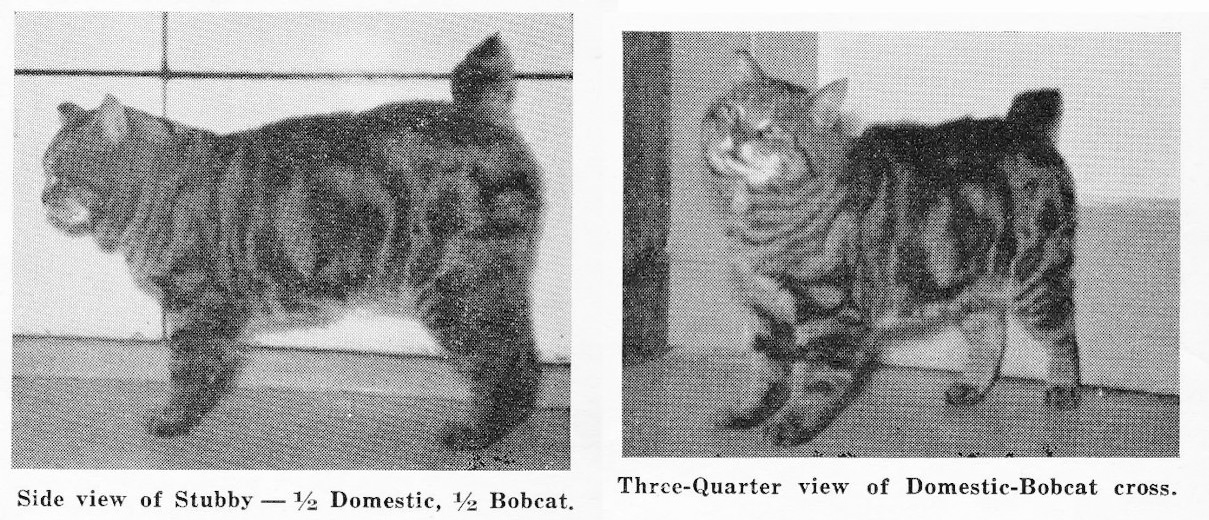 1960s purported bobcat hybrid but a tabby domestic cat