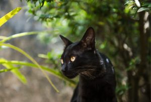 Black cat superstition in Kenya leads to cat cruelty