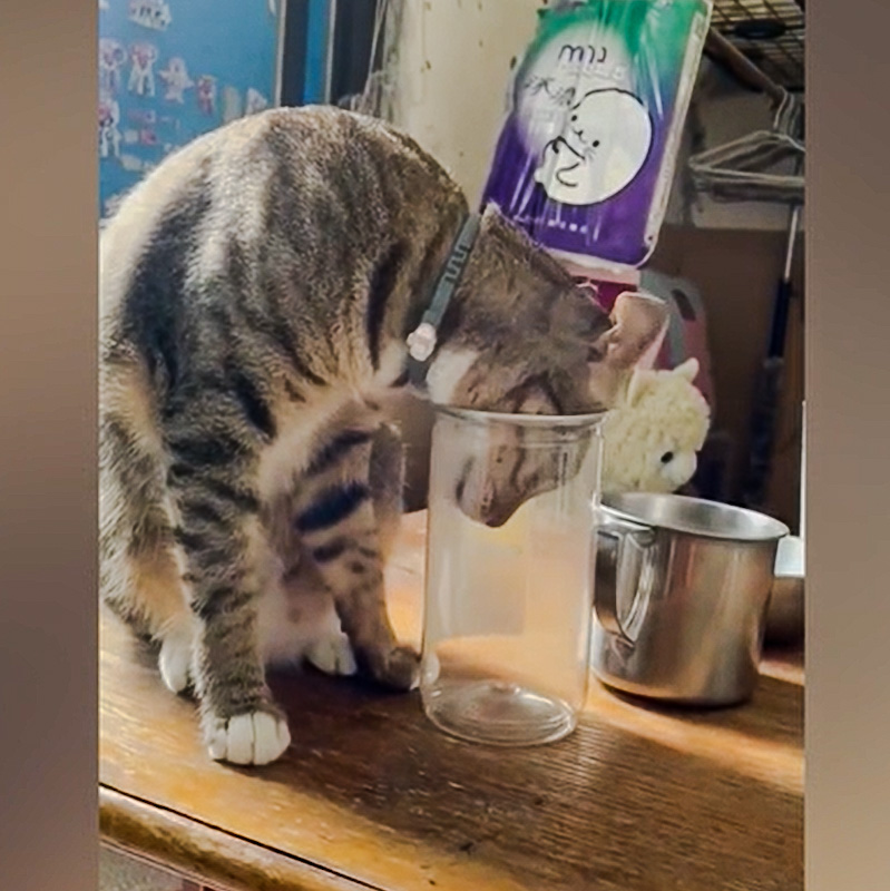 Cat about to get his head stuck in a cookie jar