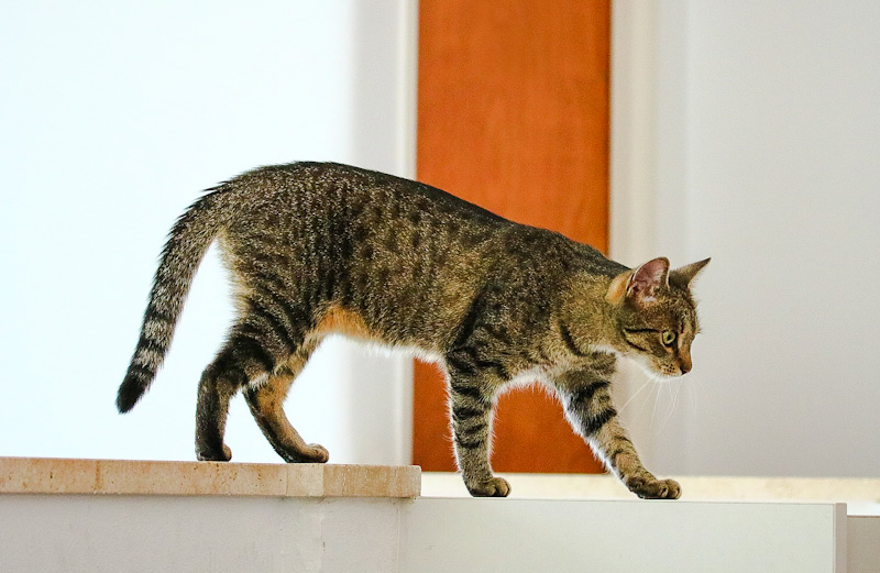 Cat walking normally
