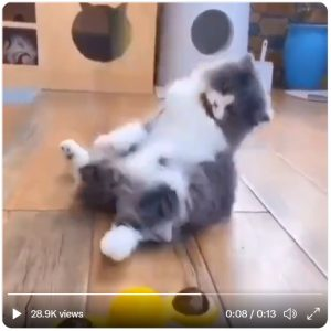 Cat watches spinning toy and becomes dizzy and falls over