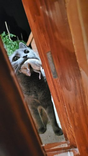 Cat with mouse at door locked out as forbidden to bring prey animals in