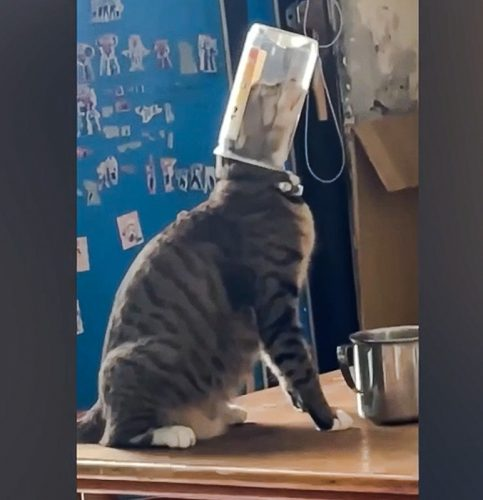 Cats don't understand the potential for getting their head stuck in a jar or can