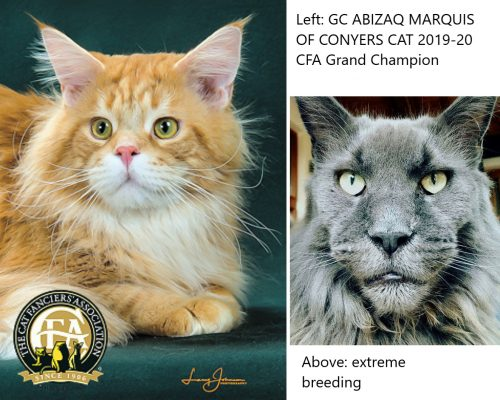 Comparison CFA Grand Champion Maine Coon versus Maine Coon bred to an extreme