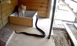 Domestic cat defends herself from attacking cobra which gets a face full of claws