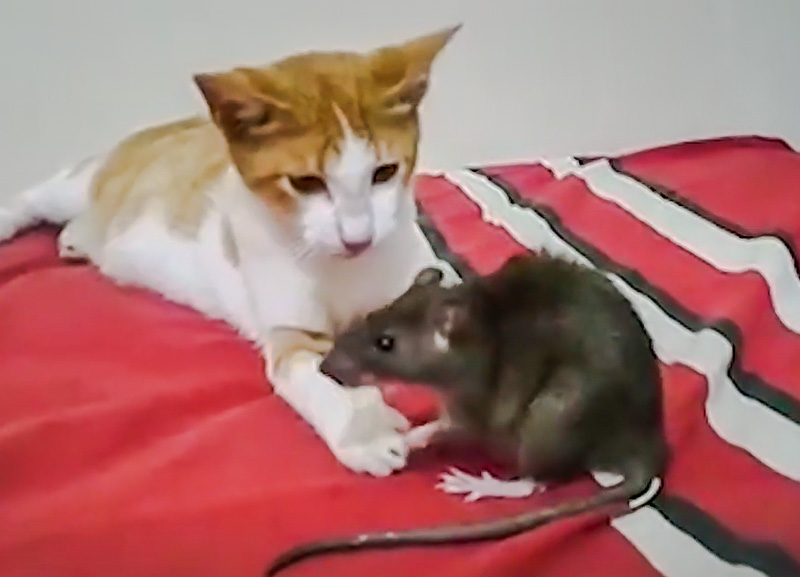 Is it bizarre that a cat makes friends with a rat? No.