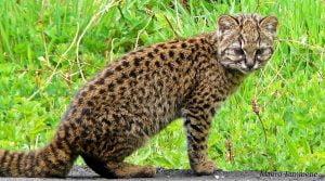 Leopardus guigna - Kodkod.