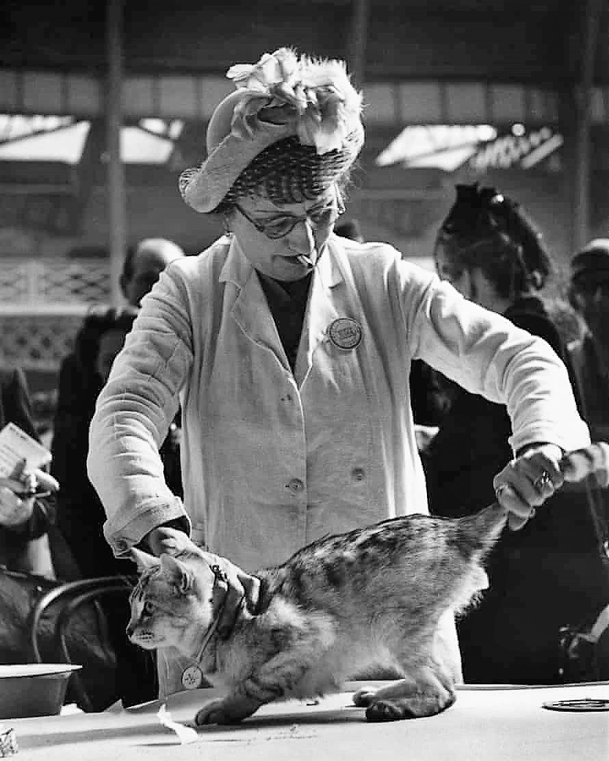 Mrs AH Cattermole examines Sealeigh Grey Knight at the Crystal's cat show at Olympia, London, in 1950.