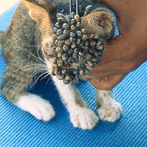 Poor rescue kitten's head covered in ticks. The vet assistant or veterinarian removes them with tweezers